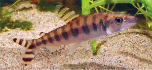 TFH 2015 june 2 Eugnatichthus macrolepidotus