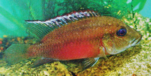 Chromidotilapia kingsleyae re