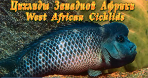 West African Cichlids re