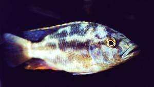 Nimbochromis polystigma male re