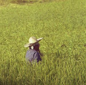 Rice field Niigata