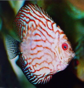Discus Red Turquose re 1