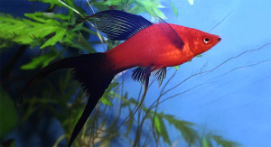 Swordtail 2015
