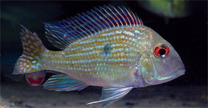 TFH 2015 sept-oct 5 Geophagus Rio Turiacu