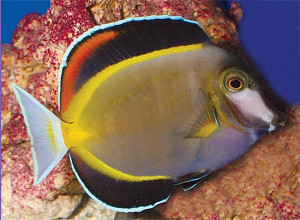 TFH 2015 sept-oct 6 Acanthurus japonicus
