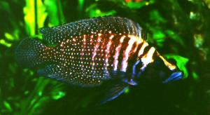 Altolamprologus caldus adult
