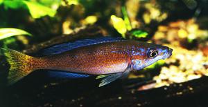 Cyprichromis microlepidotus 1