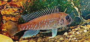 Triglachromis otostigma 1