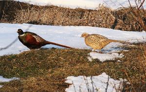 Adil pheasants 1
