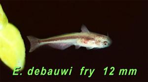 Mastocembelidae 7