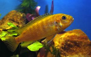 Melanochromis johanni female