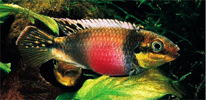 TFH 2016 jan-febr Pelvicachromis subocellatus