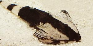 TFH 2016 jan-febr Pseudohemiodon apithanos