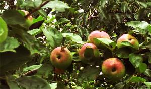 Dacha 2016 apples