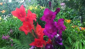 Dacha 2016 gladiolus