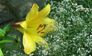 Dacha 2016 lily yellow