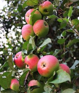 dacha-2016-apples-1