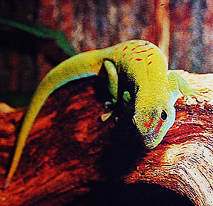 terra-phelsuma-madagascariensis-re