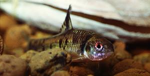 chilogobio-czerskii-2-male