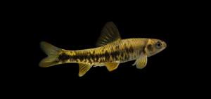 chilogobio-czerskii-frolov-female