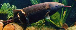 gnathonemus-petersi-re