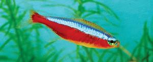 paracheirodon-axelrodi