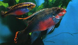 pelvicachromis-pulcher-re
