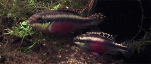 pelbicachromis-pulcher-afr