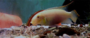 pelvicachromis-pulcher-albino-male-and-young-re