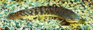 polypterus-delhezi