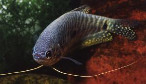 trichgaster-trichopterus