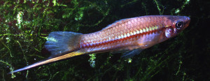 xiphophorus-helleri-natural