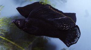 Black velifera