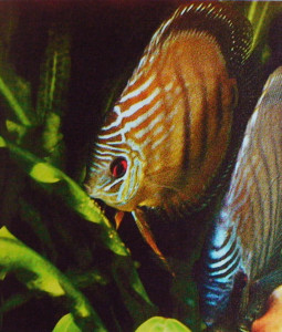 Discus blue pair