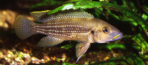 Neolamprologus tetracanthus re