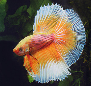Horst Linke -Betta splendens
