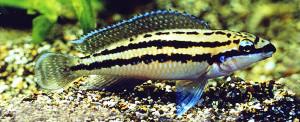 Julidochromis dickfeld re