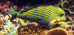 Marine fish 2017 Shubtavy