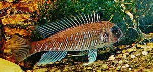 Triglachromis otostigma ed