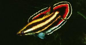Parosphromenus deissneri re