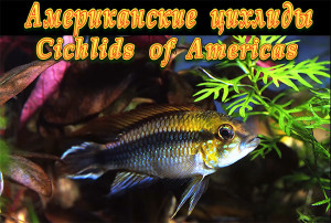 American and Asican cichlids re