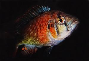 Haplochromis limax 2017 ed