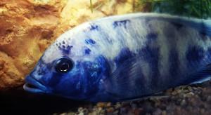 Nimbochromis-Cyrtocara venustus crossbreed