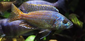 Nimbochromis fuscotaeniatus 2017