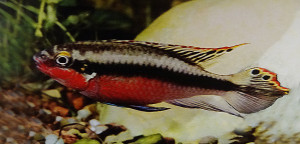 Pelvicachromis pulcher video 2017 ed 1