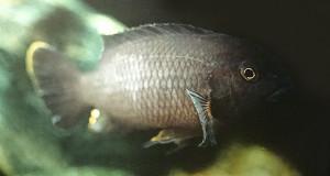 Psedotropheus spec tropheops agat 1975