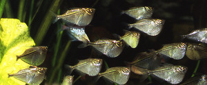 Thoracocharax stellatus