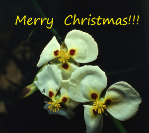 Christmas 2017 sagittaria