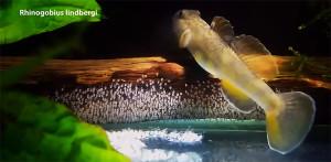 Rhinogobius lindbergi videi