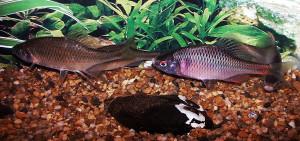 Rhodeus ocellatus spawning